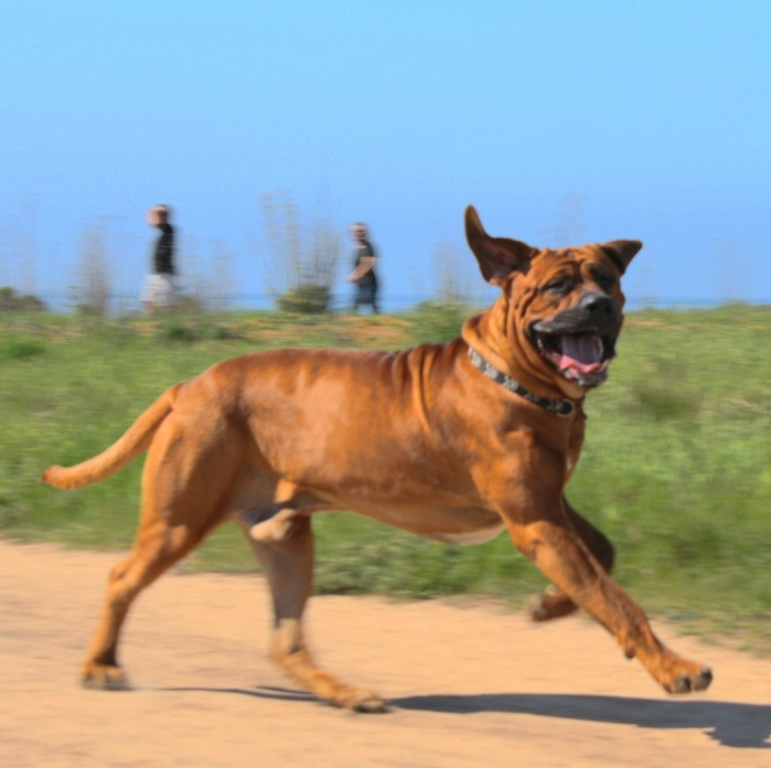 running-dog-active-voice